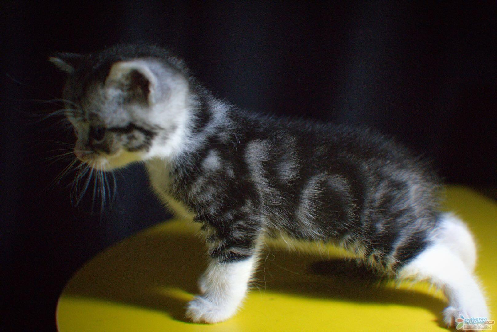 自家母猫生的美短起司猫咪找新家